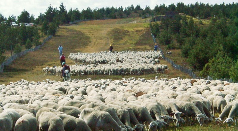 Troupeau transhumant sur la draille du Languedoc